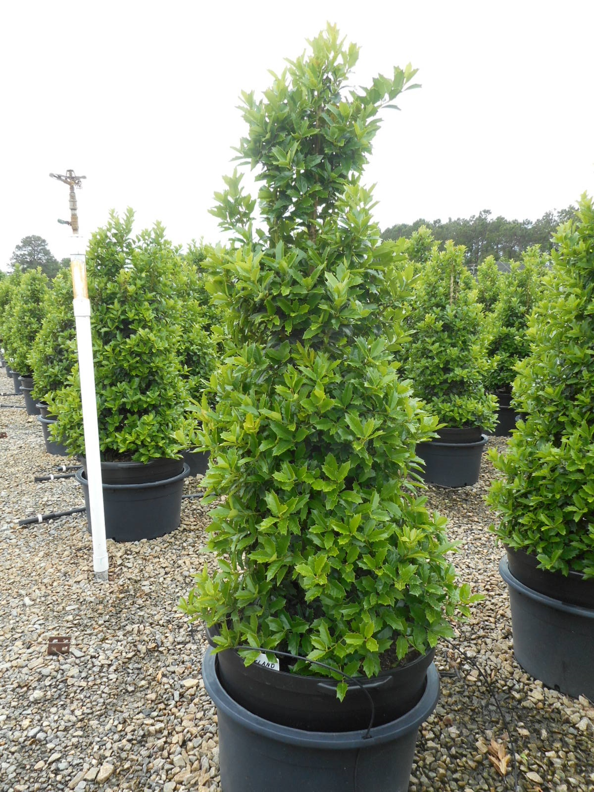 25g Oakland™ Holly