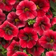 /Images/johnsonnursery/Products/Annuals/Calibrachoa_Pomegranate_Punch_-_PW.jpg
