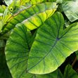 /Images/johnsonnursery/product-images/Colocasia Blue Hawaii041416_2rf0tctk3.jpg