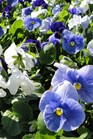 /Images/johnsonnursery/Products/Annuals/P__Cool_Water_Mix_for_web.JPG