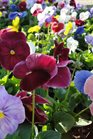 /Images/johnsonnursery/Products/Annuals/P__Monet_for_web.JPG