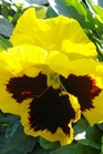 /Images/johnsonnursery/Products/Annuals/P__Yellow_with_Blotch_2_11-04-09_009.jpg