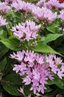 /Images/johnsonnursery/Products/Annuals/Pentas_Starcluster_Lavender.jpg