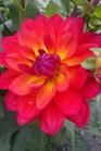 /Images/johnsonnursery/Products/Perennials/Dahlia_Firepot.jpg