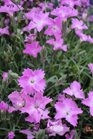 /Images/johnsonnursery/Products/Perennials/Dianthus_Love_Dr.jpg