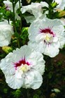 /Images/johnsonnursery/Products/Woodies/Hibiscus_Bali_-_1st_Editions.jpg