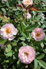 /Images/johnsonnursery/Products/Woodies/Rosa_Sunrosa_Pink.jpg