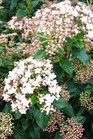 /Images/johnsonnursery/Products/Woodies/Viburnum_tinus_Compactum_for_web_021501.jpg