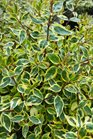 /Images/johnsonnursery/product-images/Abelia Sunshine Daydream2042116_l5scq8iwg.jpg