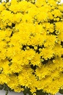 /Images/johnsonnursery/product-images/Amiko_yellow_8fffvq9ju.jpg