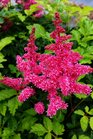 /Images/johnsonnursery/product-images/Astilbe Younique Carmine2050117_tut8r70vk.jpg