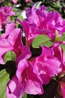 /Images/johnsonnursery/product-images/Azalea Bloom A Thon Lavender3091813_c9cth1txg.jpg