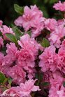 /Images/johnsonnursery/product-images/Azalea Bloom a Thon Pink Double_kwihitts6.jpg