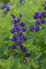 /Images/johnsonnursery/product-images/Baptisia Sparkling Sapphires_2eo83bgp5.jpg