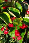 /Images/johnsonnursery/product-images/Begonia Dragon Wing Red4042516_5d8a9exi2.jpg