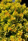/Images/johnsonnursery/product-images/Berberis Daybreak2042016_hs81s9w3q.jpg