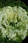 /Images/johnsonnursery/product-images/Brassica White Kamome3101816_bcu00l1z6.jpg