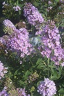 /Images/johnsonnursery/product-images/Buddleia Lilac Chip_gdc5ld8wb.jpg