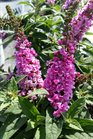 /Images/johnsonnursery/product-images/Buddleia Pink Micro Chip062716_6x4k7bvs3.jpg