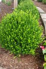 /Images/johnsonnursery/product-images/Buxus Wintergreen052116_t5db9fe4b.jpg
