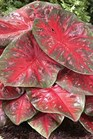 /Images/johnsonnursery/product-images/Caladium Red Flash - samsclub_tdd9xim96.jpg