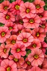 /Images/johnsonnursery/product-images/Calibrachoa Superbells Coralina_vbc1ghdz7.jpg