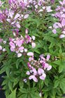 /Images/johnsonnursery/product-images/Cleome Pequena Rosalita3050216_8ni74bduu.jpg