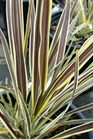 /Images/johnsonnursery/product-images/Cordyline Electric Flash062816_xt9iaozxx.jpg