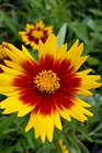 /Images/johnsonnursery/product-images/Coreopsis UpTick Gold Bronze2022817_mvvztnjmk.jpg