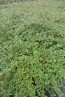 /Images/johnsonnursery/product-images/Cotoneaster Scarlet Leader101113_0ikd5zltg.jpg