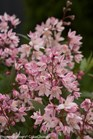 /Images/johnsonnursery/product-images/Deutzia Yuki Cherry Blossom_am4tj0le5.jpg