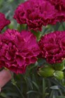 /Images/johnsonnursery/product-images/Dianthus Fruit Punch Cranberry Cocktail_6zsfd52ia.jpg