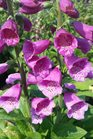 /Images/johnsonnursery/product-images/Digitalis Dalmatian Purple2041317_jagzgj7hq.jpg