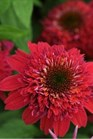 /Images/johnsonnursery/product-images/Echinacea_Double_Scoop_Raspberry_mvbkdsb6x.jpg