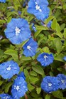 /Images/johnsonnursery/product-images/Evolvulus Blue Daze080812_qtofb66ou.jpg