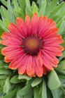 /Images/johnsonnursery/product-images/Gaillardia Arizona Red Shades041513_5aw6913uj.jpg