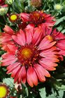 /Images/johnsonnursery/product-images/Gaillardia Sunrita Burgundy Picotee2041117_vrw3uxqrq.jpg