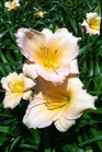 /Images/johnsonnursery/product-images/Hemerocallis Mini Pearl071819_efd1qa73a.jpg