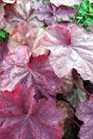/Images/johnsonnursery/product-images/Heuchera Beaujolais - PW_wwtuensd4.jpg