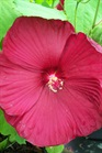 /Images/johnsonnursery/product-images/Hibiscus Luna Red072209_8hbmnc33w.jpg