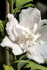 /Images/johnsonnursery/product-images/Hibiscus White Pillar_tpjtavboh.jpg