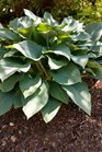 /Images/johnsonnursery/product-images/Hosta Krossa Regal042918_ejjkjr3tt.jpg