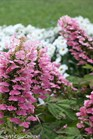 /Images/johnsonnursery/product-images/Hydrangea Gatsby Pink_0bj4e2x14.jpg