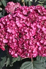 /Images/johnsonnursery/product-images/Hydrangea Invincibelle Mini Mauvette 2_tabvq7a7t.jpg