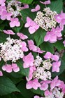 /Images/johnsonnursery/product-images/Hydrangea Lets Dance Starlight2052610_vk38tpqx9.jpg