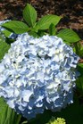 /Images/johnsonnursery/product-images/Hydrangea Nikko Blue060706_rs4vvrcml.jpg