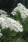 /Images/johnsonnursery/product-images/Hydrangea Snow Queen - finegardening_kz2sb6bul.jpg