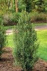 /Images/johnsonnursery/product-images/Ilex Sky Pointer 2_0wjd8tp5r.jpg