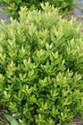 /Images/johnsonnursery/product-images/Ilex Strongbox_99de7hlv0.jpg