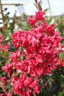 /Images/johnsonnursery/product-images/Lagerstroemia Enduring Summer Red091313_zzess5oub.jpg